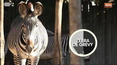 Animais: Zebra de Grevy